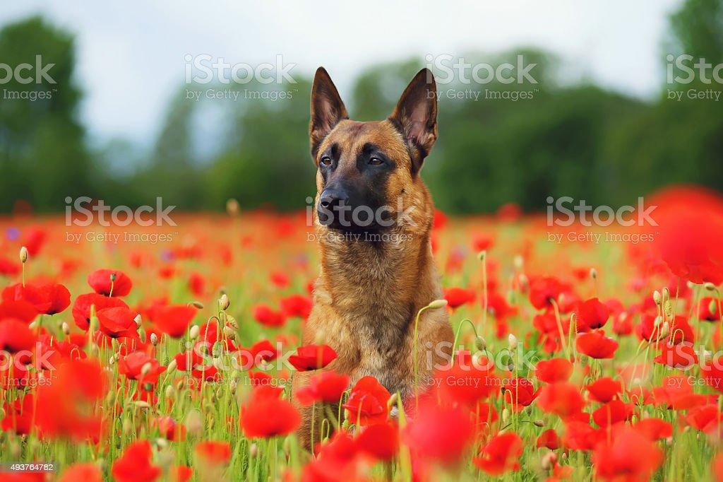 Belgian Shepherd dog Malinois sitting in a poppy field stock photo