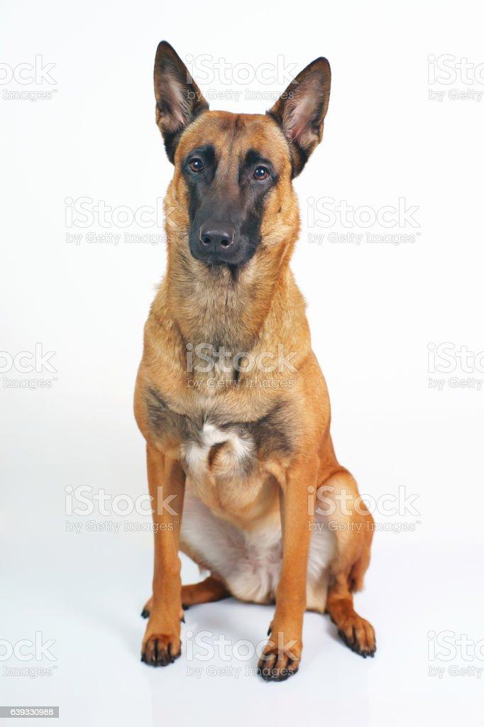 Belgian Shepherd dog Malinois sitting indoors on a white background stock photo