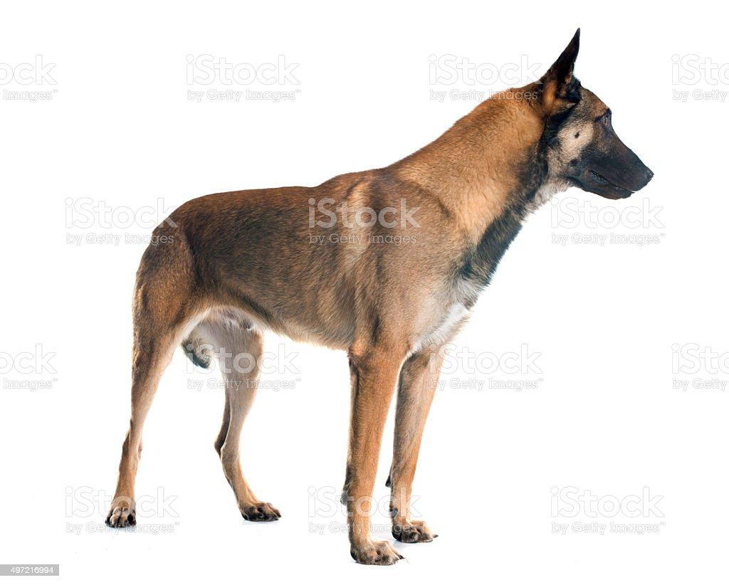 belgian shepherd dog stock photo