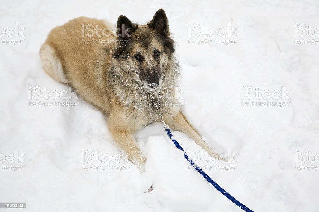 Belgian Shepherd Dog playing in the snow stock photo