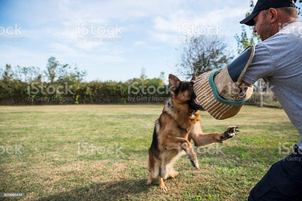 Belgian shepherd dog trainig foto royalty-free
