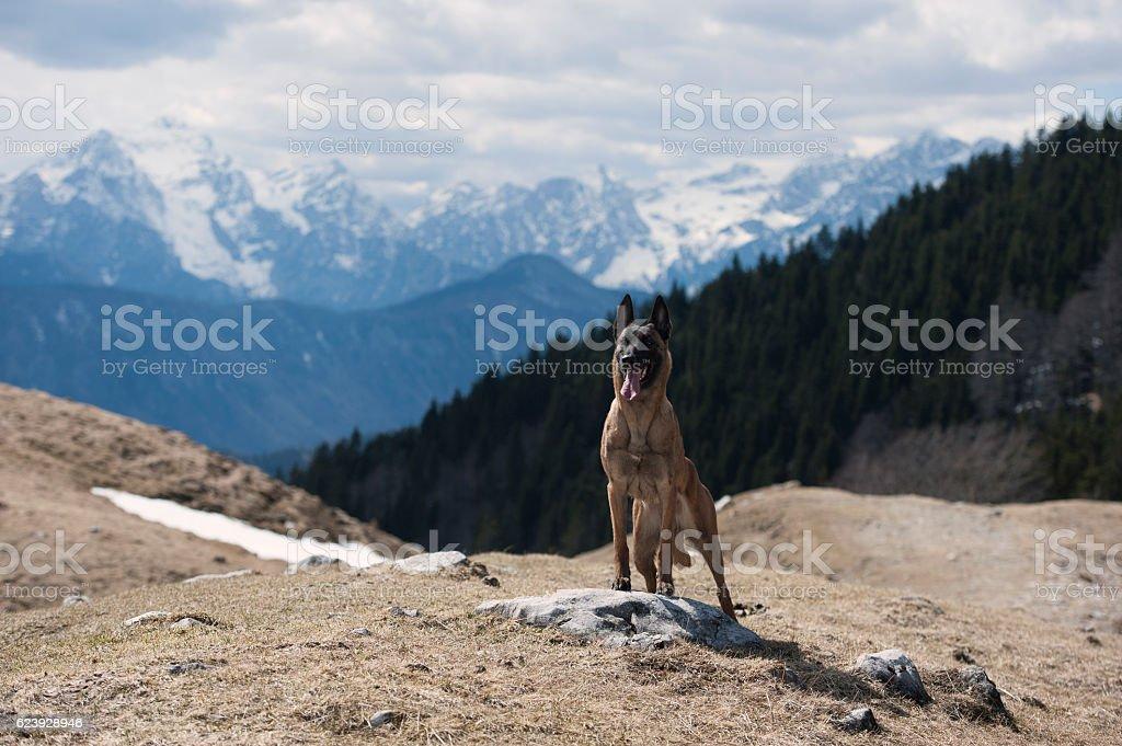 Belgian shepherd enjoying in mountains stock photo