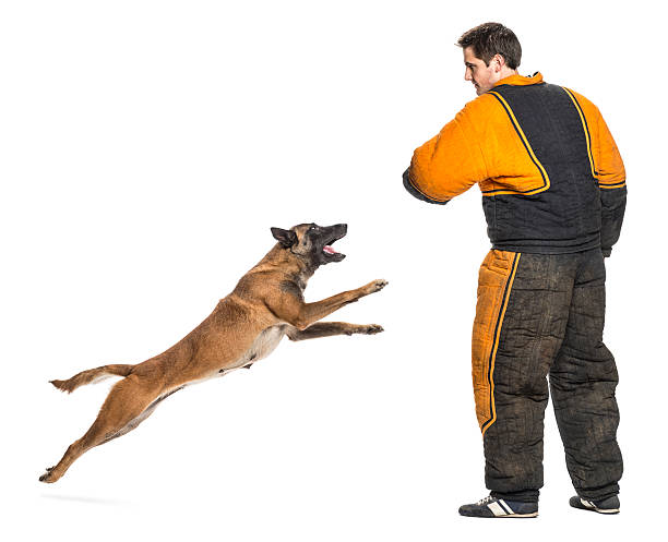 Belgian shepherd jumping to attack trainer wearing body bite suit picture id483120511?b=1&k=6&m=483120511&s=612x612&w=0&h=3coitlubk4dzxgpnnd2rx20v24 f7d3vfwuej5va wm=