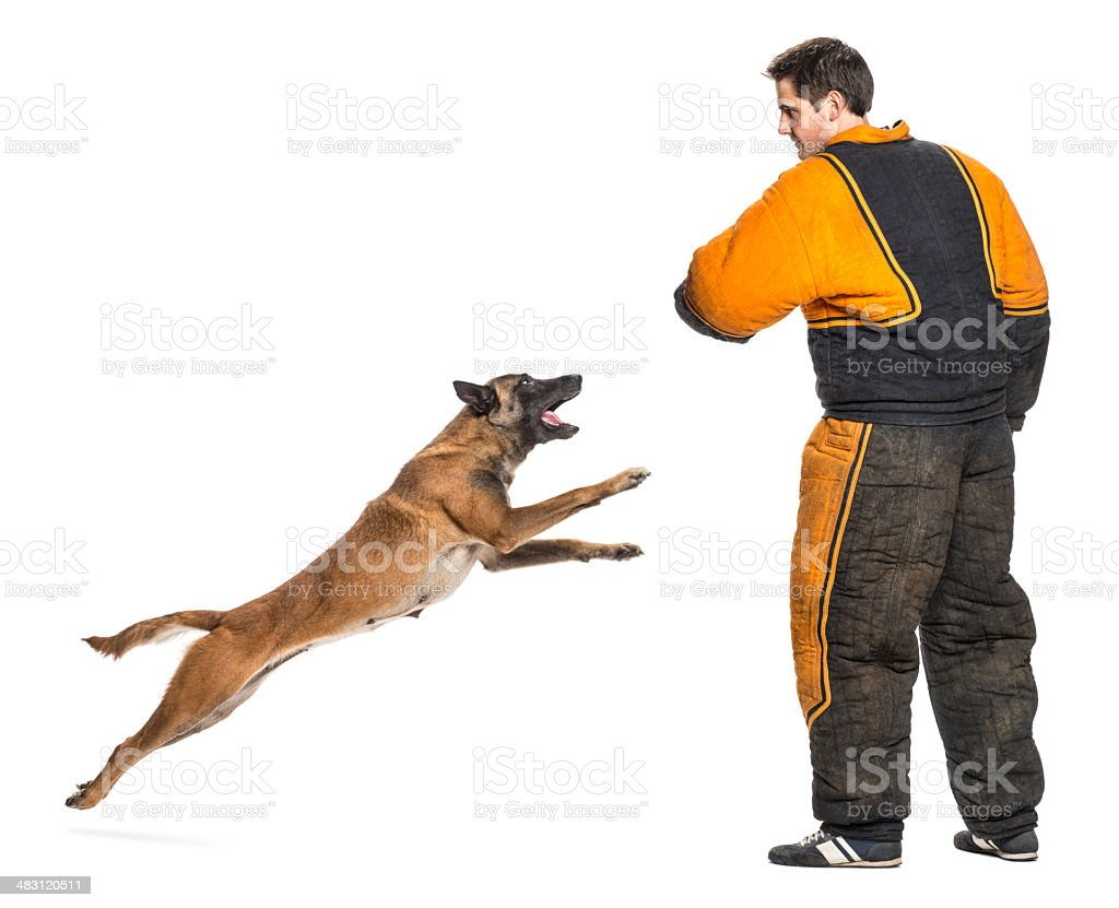 Belgian Shepherd jumping to attack trainer wearing body bite suit stock photo