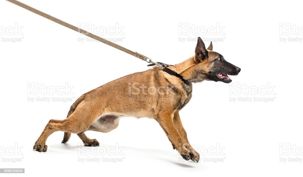 Belgian Shepherd leashed against white background stock photo