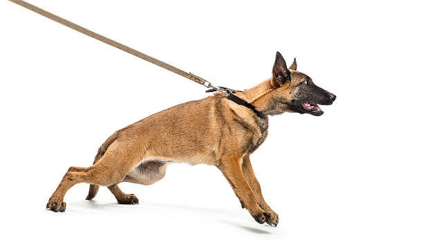 belgian shepherd leashed against white background - puxando - fotografias e filmes do acervo