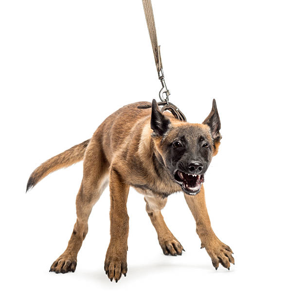 Belgian Shepherd leashed and aggressive against white background stock photo