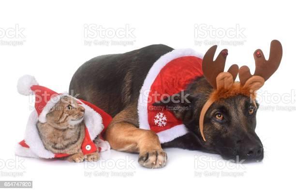 Belgian shepherd malinois and cat picture id654747920?b=1&k=6&m=654747920&s=612x612&h=b5kioe1iqp3ostqsf8r3djtgjc3dney2xuzsyekbr1g=