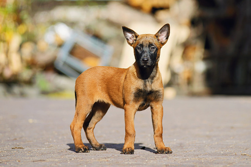 Parcours d'audace, version canine . Belgian-shepherd-malinois-puppy-picture-id496354894?k=6&m=496354894&s=170667a&w=0&h=JE8ohgw6cwqwSmdYIiVO62Mx1AZu0fr7KamyeWL-Fts=