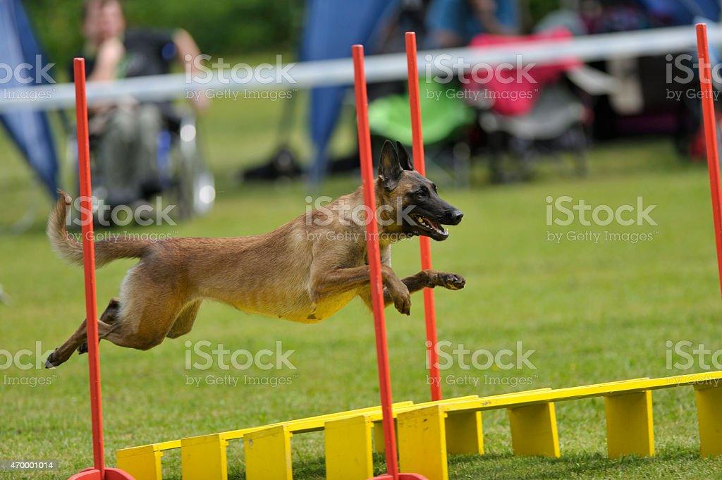 Belgian Shepherd on a long jump stock photo