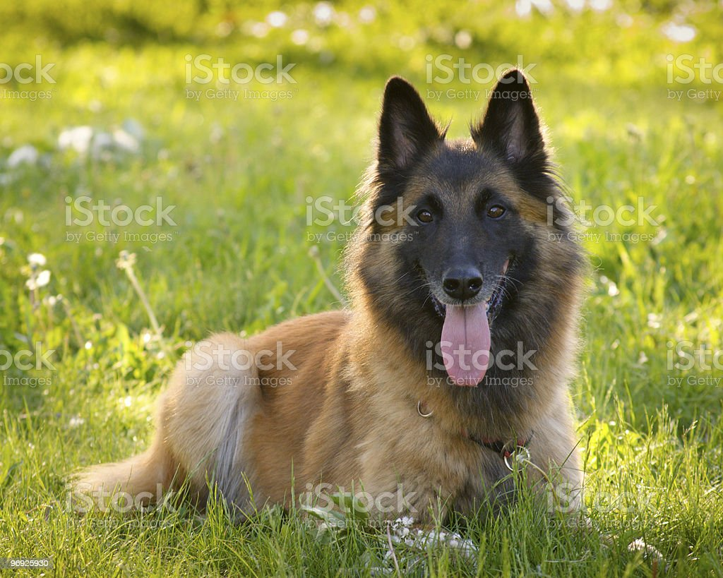 Belgian Shepherd on the grass royalty-free stock photo