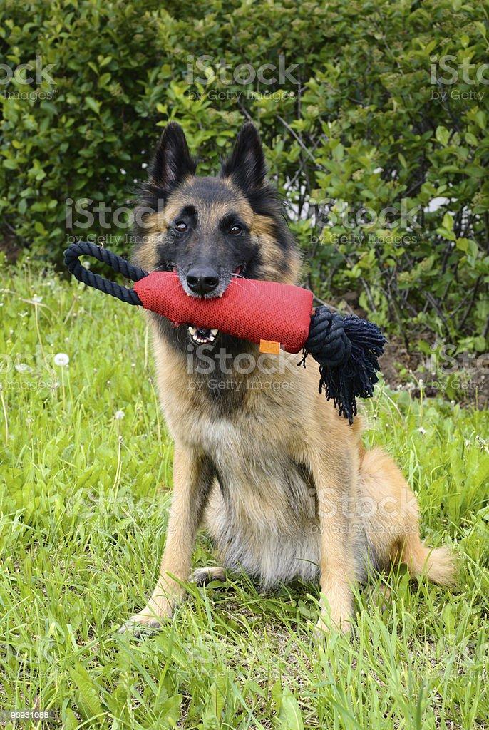 Belgian Shepherd on the grass royalty-free stock photo