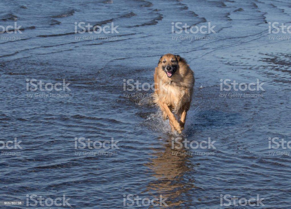 Belgian Shepherd playing in the ocean stock photo