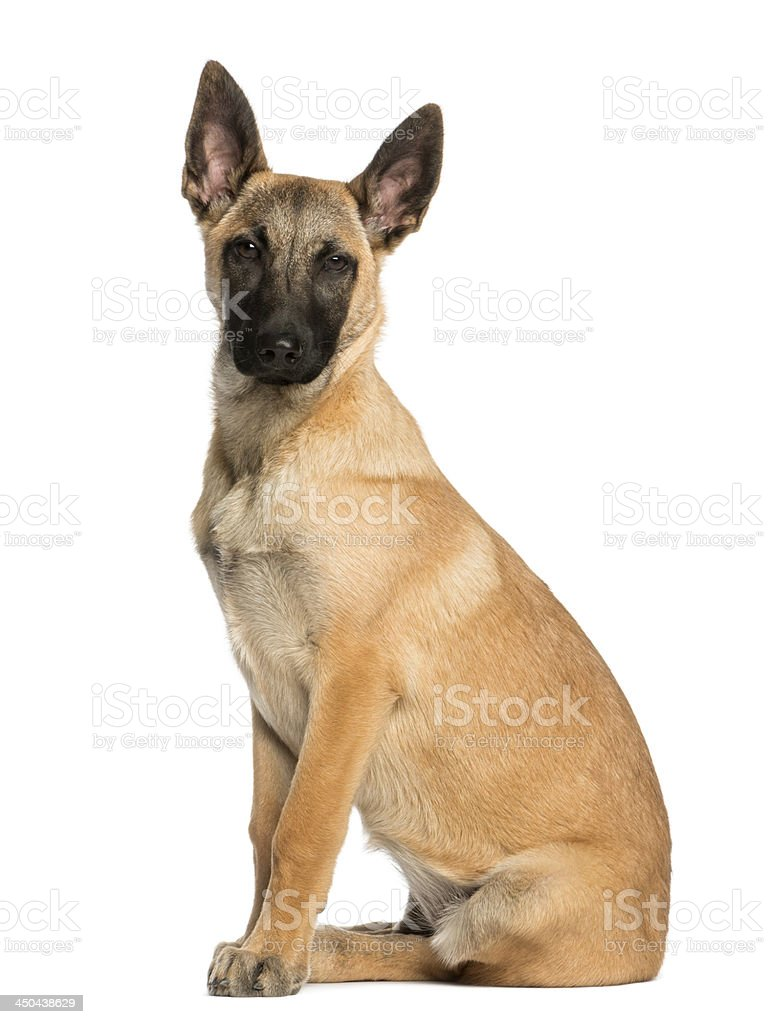 Belgian Shepherd sitting and facing, 5 months old, isolated stock photo