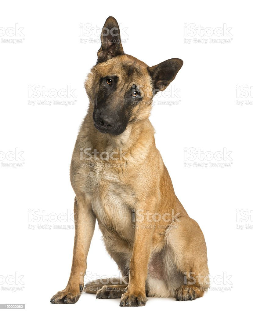 Belgian Shepherd sitting with a wondering look, 10 months old stock photo