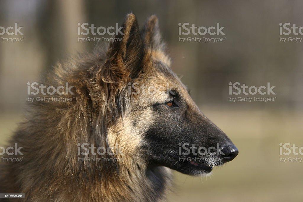 Belgian shepherd - Tervueren stock photo