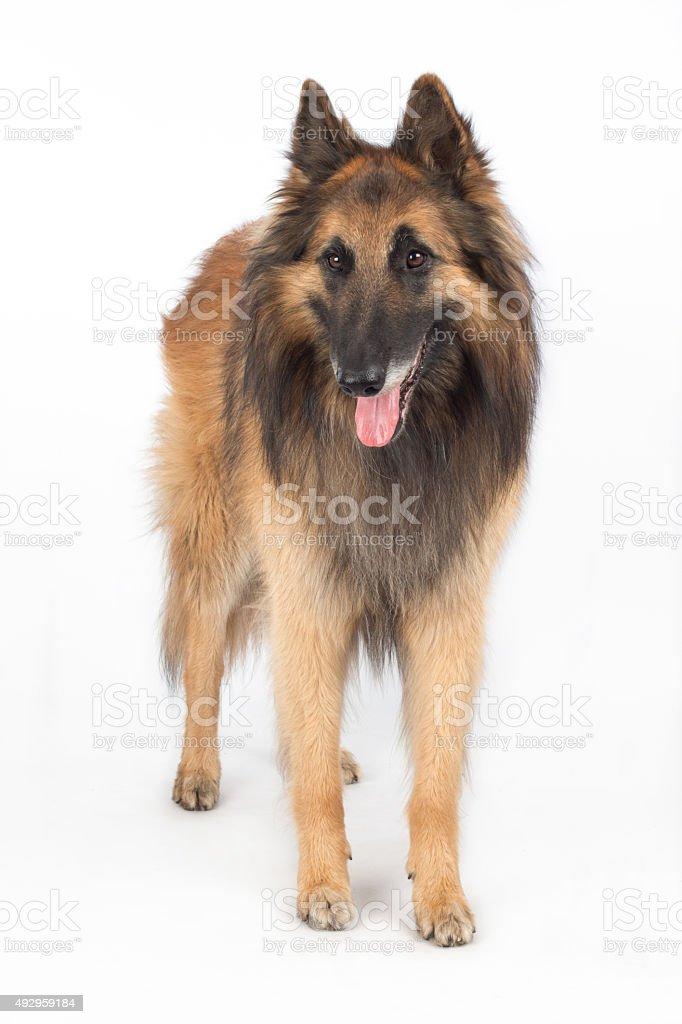 Belgian Shepherd Tervuren Dog standing stock photo