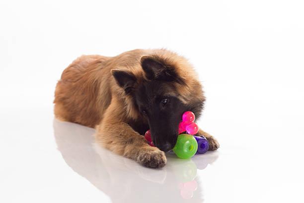 Belgian Shepherd Tervuren puppy, six months old, white studio background stock photo