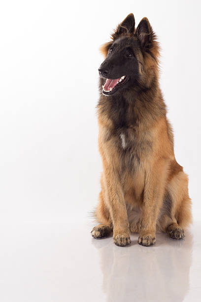 Belgian shepherd tervuren puppy six months old white studio picture id513917115?b=1&k=6&m=513917115&s=612x612&w=0&h=fdn0 hwcl 8ddo02ivwl2i12e5xf1ukowvi4c0c0ohu=