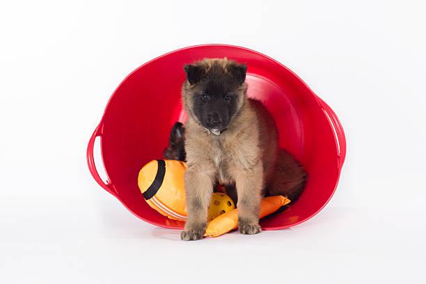 Belgian Shepherd Tervuren puppy, six weeks old, white studio background stock photo