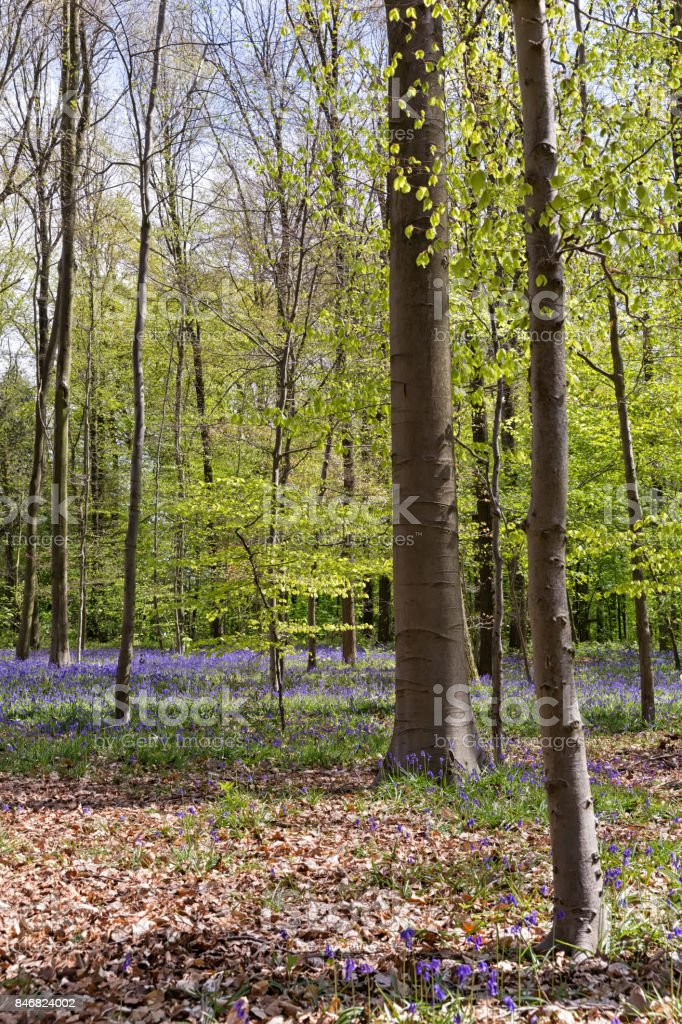 Belgium, Vlaanderen (Flanders), Halle. Bluebell flowers stock photo