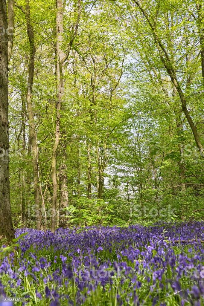 Belgium, Vlaanderen (Flanders), Halle. Macro photo of Bluebell flowers stock photo