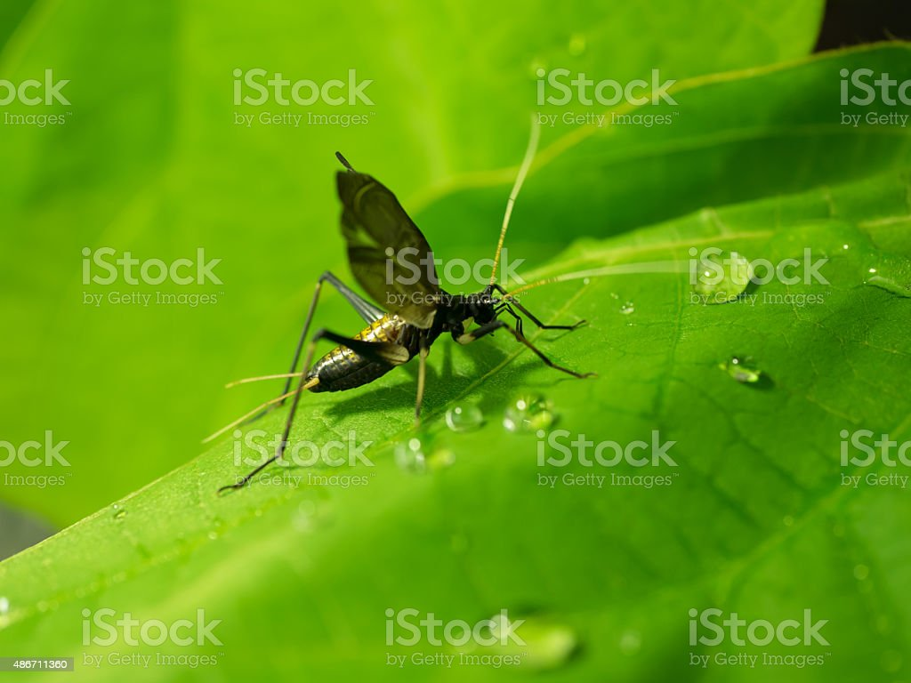 Bell cricket that singing with trembling wings stock photo