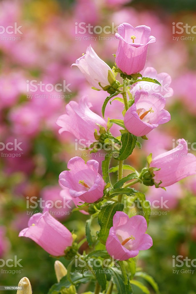 Bell flower royalty-free stock photo