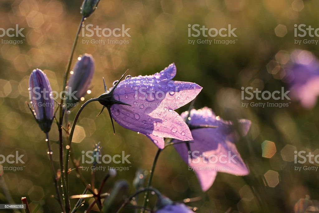 Bell flower with morning dew stock photo