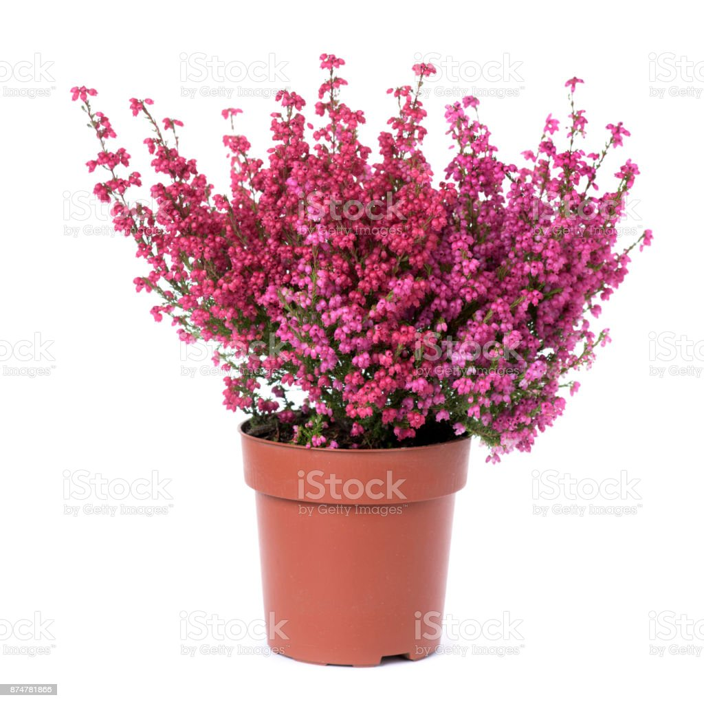 Bell Heather Plant With Pink Flowers Stock Photo More Pictures Of