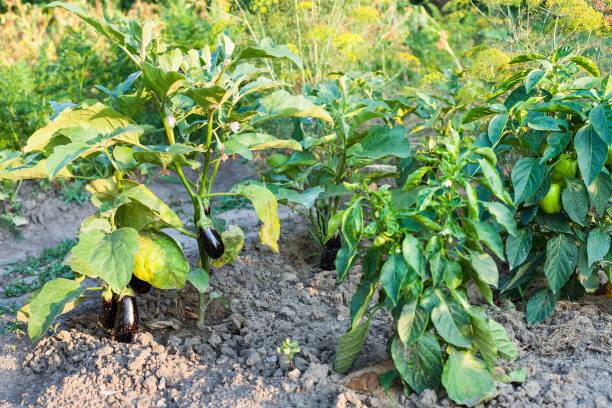 ピーマンとナスの茂みの庭のベッドに - クラスノダール市 ストックフォトと画像