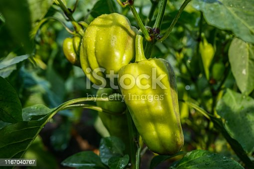 bell pepper plant with  green fruits, fruits after watering