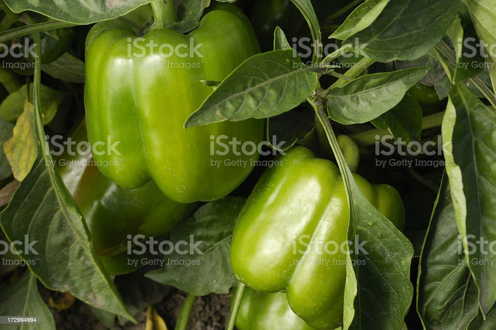 Bell Peppers Growing in Field royalty-free stock photo