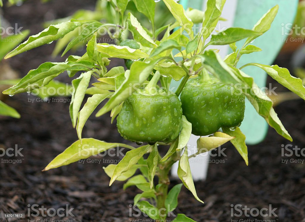 Bell Peppers Ready to Pick royalty-free stock photo