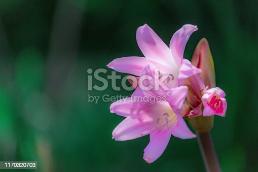 Bella Donna Lily, AKA Naked Lady flower in full bloom. Beautiful pink flower on tall stalk. Horizontal image with copy space.