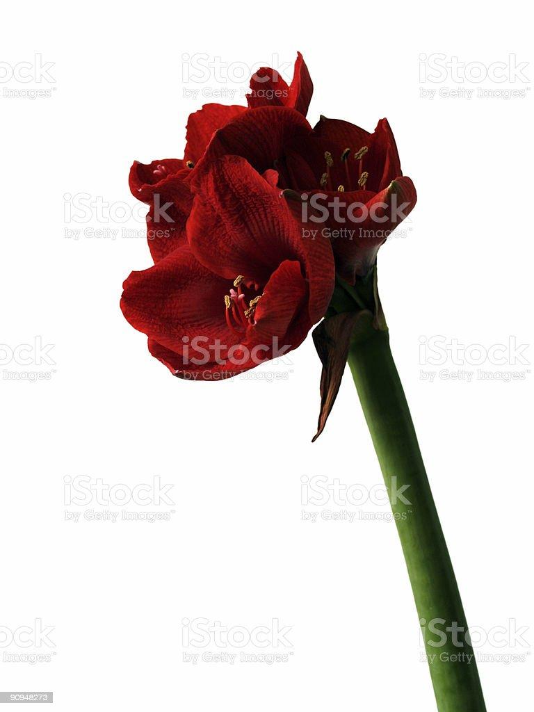 Belladonna Lily stock photo