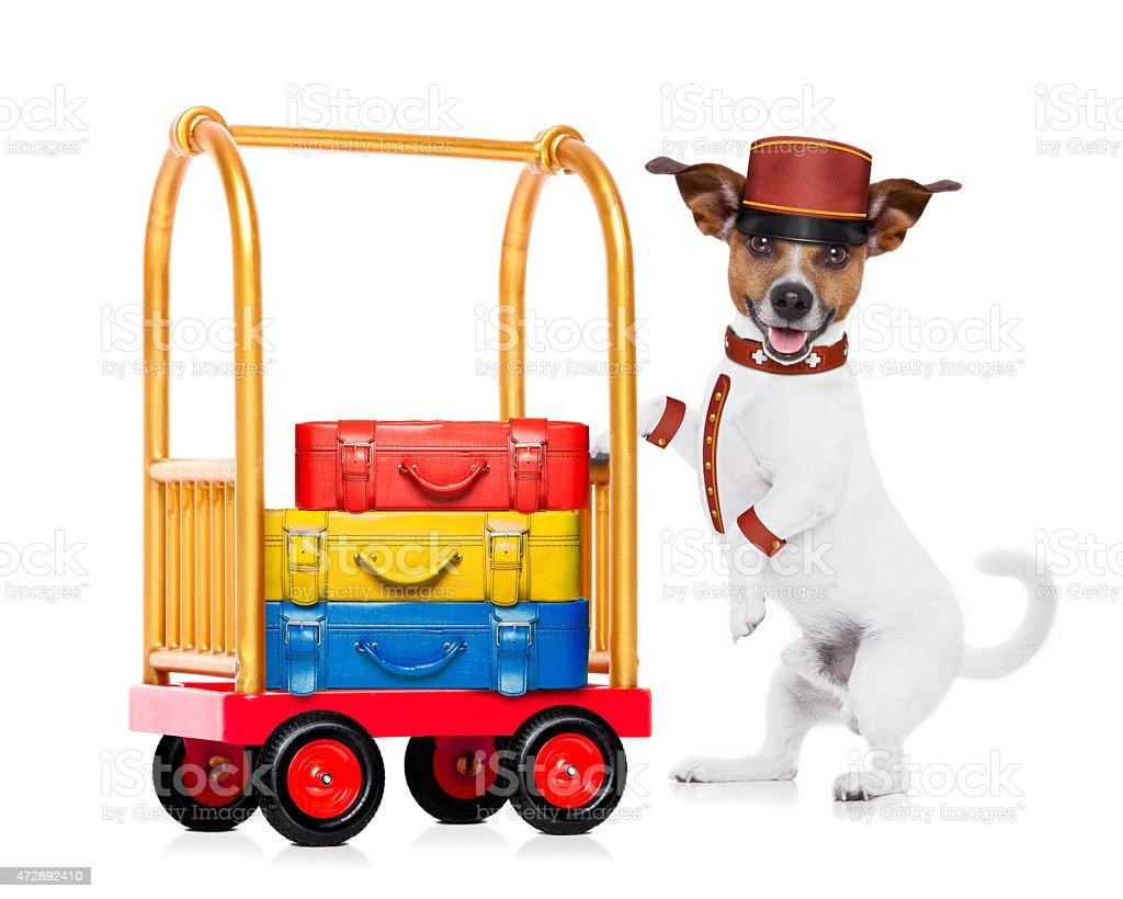 bellboy dog stock photo