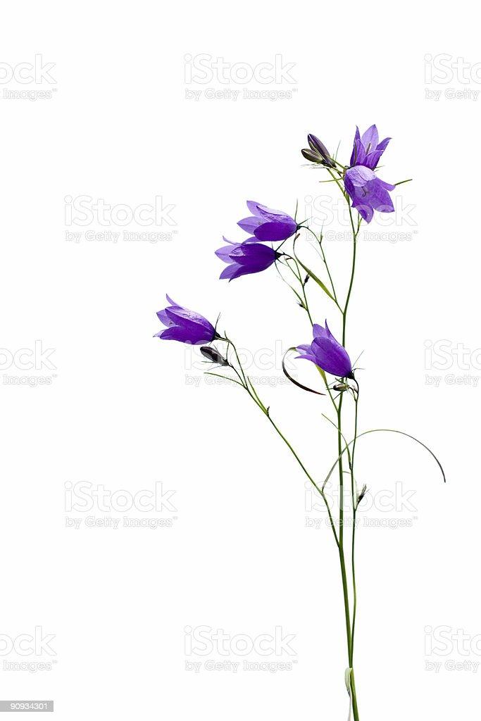 bellflower isolated on white stock photo