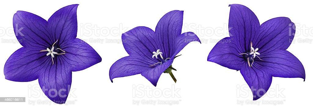 Bellflower stock photo