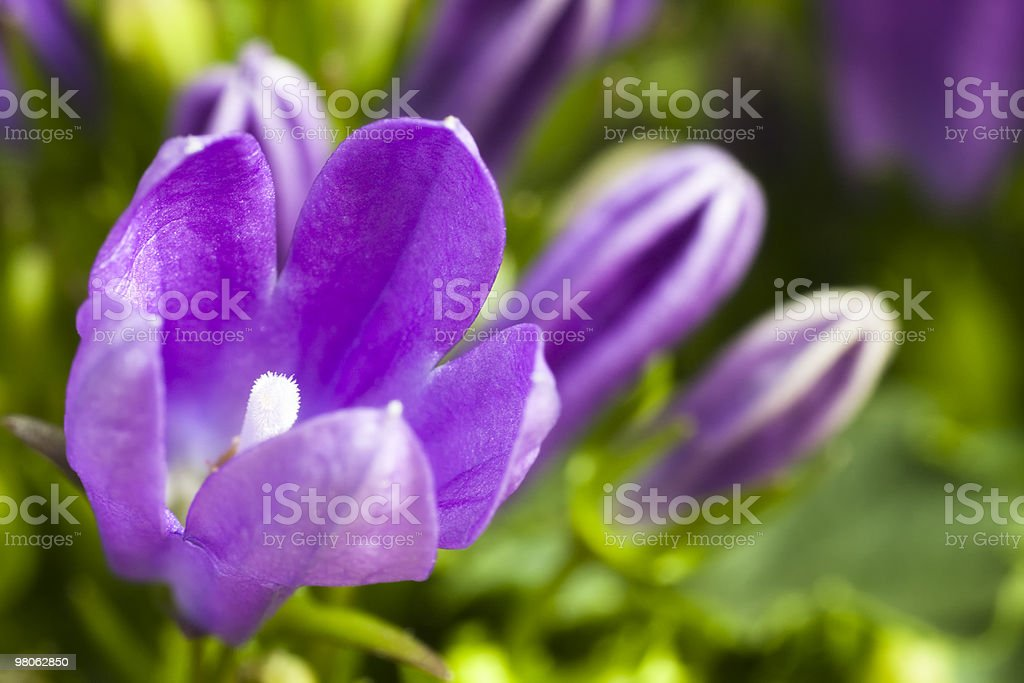 Campanula foto stock royalty-free