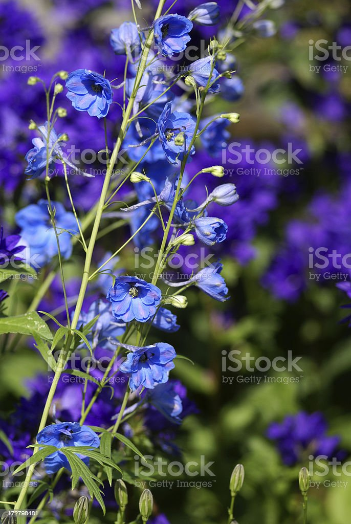 Bellflowers in blue royalty-free stock photo