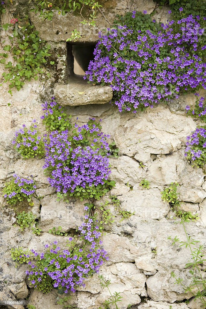 bellflowers on old wall stock photo