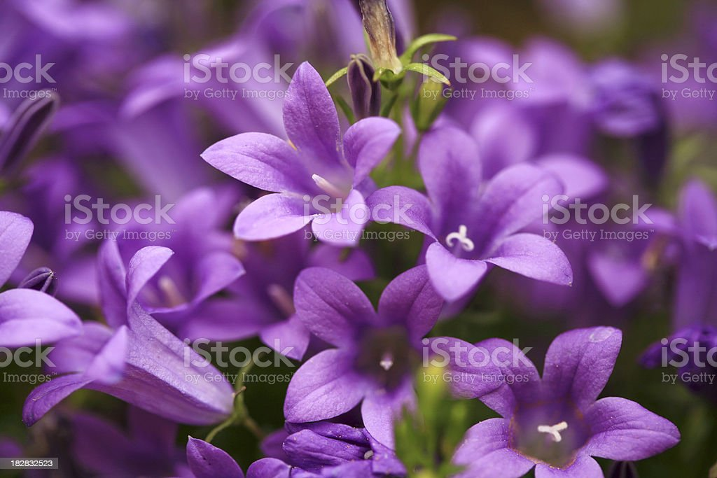 Bellflowers (Campanula) stock photo