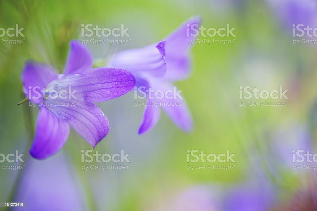 Bellflowers royalty-free stock photo