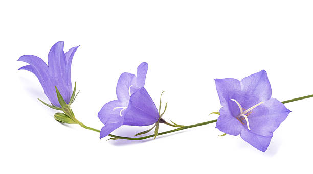 Bellflowers ( Campanula rotundifolia ) Bellflowers isolated on white. Campanula rotundifolia bluebell stock pictures, royalty-free photos & images