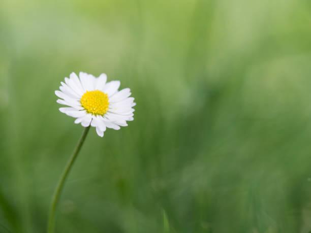 bellis perennis bloeien in het gras - madeliefje stockfoto's en -beelden