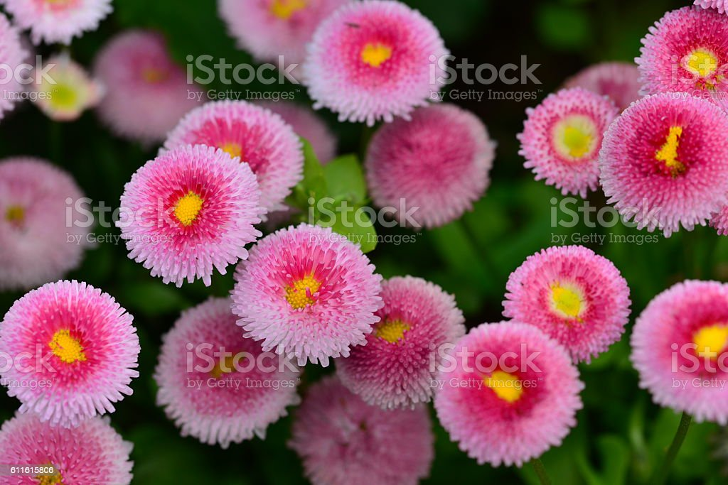 Bellis perennis/ English daisy/ Common daisy stock photo