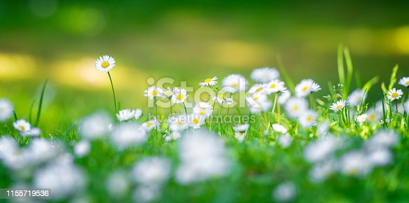 Common Daisy flowerbed on lawn