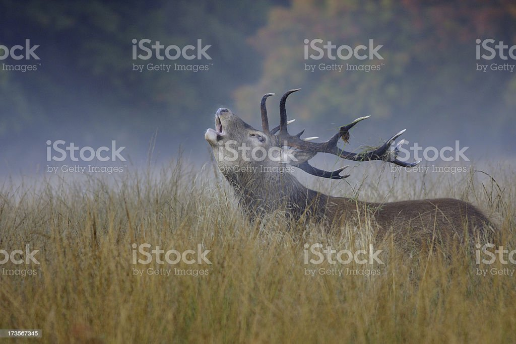 Bellowing lone red deer stag in mist roars autumn announcement stock photo