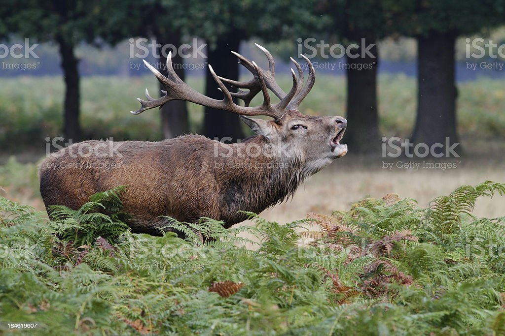 Early morning roaring lone red deer stag bellows stock photo
